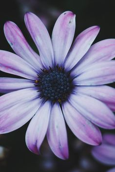 Free download of this photo: https://www.pexels.com/photo/white-and-purple-daisy-195686/ #summer #purple #petals