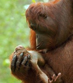 An Orangutan Mommas eyes locked on her precious newborn. ♥