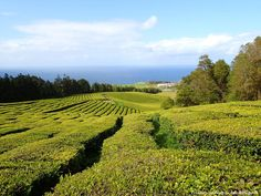 Lost in a maze of green in the Azores. Tea Plantation, Portugal