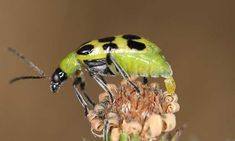 Do you have cucumber beetle problems? Find out how to destroy these major agricultural pests with our handy prevention guide! Cucumber Beetles, Carpenter Bee, June Bug, Superfamily, Snails, Bees, Turtle, Gardening