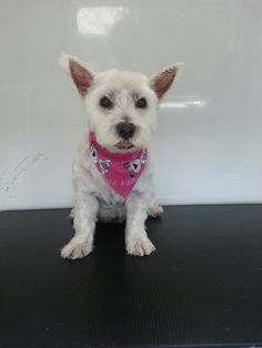 Millie #Pets #Dogs #Grooming #NorthVancouver http://www.aussiepetmobile.ca/northshore/