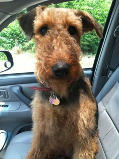 """Officer, it drove itself!"" #dogs #pets #Airedales Facebook.com/sodoggonefunny"