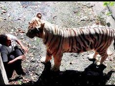 Peux-ton vraiment blâmer le zoo de Delhi lorsqu'un homme décide de lui-même de sauter dans l'enclos d'un tigre blanc? Le pauvre homme s'est rendu compte un peu tard de sa stupidité. Le tigre irrité par les cris et l'agitation des visiteurs du zoo, spectateurs de la scène, l'a attrapé et traîné. Ce fut la fin pour cet homme...