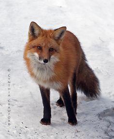 Red Fox by Cynthia Crawford