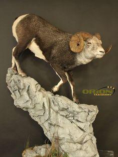 Custom rock base Sheep, Goats, Lion Sculpture, Base, Statue, Rock, Animals, Taxidermy, Animales