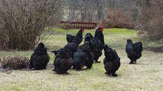 Black Brahma