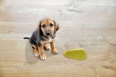 Does your dog still pee inside? Instead of yelling or punishing your dog try these 5 things to stop your dog peeing in the house. Dogs Peeing In House, Dog Pee Pads, Puppy School, Dog Houses, House Dog, Training Your Puppy, Potty Training, Training Dogs, Dog Potty