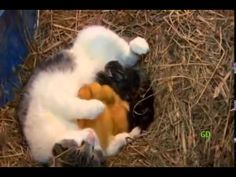 Cat nurses Ducklings