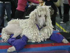 Standard Poodle  It looks like the 3rd day of a three day dog show