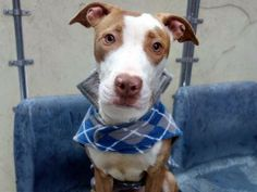 TO BE DESTROYED 2/6/14  Manhattan Center -P   My name is JAMIE. My Animal ID # is A0990443.  I am a male brown and white pit bull mix. The shelter thinks I am about 2 YEARS old.   I came in the shelter as a STRAY on 01/27/2014