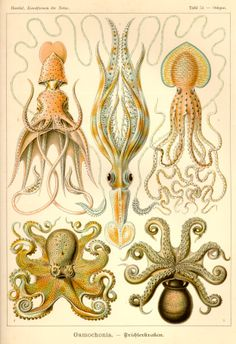 A form of art: Ernst Haeckel,Scientific drawing. A form of art: Ernst Haeckel, Dibujo científico. Art Et Nature, Nature Drawing, Nature Prints, Art Prints, Ernst Haeckel, Art And Illustration, Nature Illustrations, Octopus Illustration, Art Plage