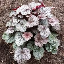 This hardy heuchera offers silver leaves with purple veining and deeper purple hues on newly emerging foliage. The undersides of the leaves are a wine red. The leaf color is enhanced during the cooler White Flowers, Beautiful Flowers, Shade Garden Plants, Coral Bells, Garden Gazebo, Moon Garden, Hardy Perennials, Leaf Coloring, Heuchera