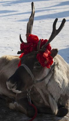 Rose covered reindeer in the Sun Park, Harbin, China.