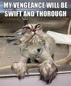 We cat revenge Meme   Slapcaption.com