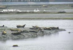 Elkhorn Slough OtterCam2