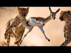 A gazelle is any of many antelope species in the genus Gazella or formerly considered to belong to it. Six species are included in two genera, Eudorcas and N. Giraffe, Wildlife, Youtube, Animals, Dune, Felt Giraffe, Animales, Animaux, Giraffes