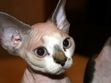 "Petfinder Cats for Adoption | ... Search results for ""Devon Rex Cat Cat Breeds Petfinder Pet Adoption"