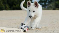 Pastor blanco suizo - razas de perro
