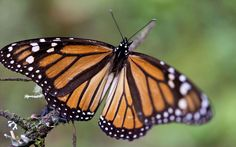 A Monarch butterfly at the oyamel firs forest in Temascaltepec, Mexico.