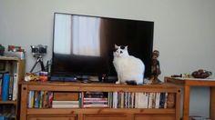 Farofa Cat
