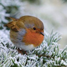 Precious lil robin bird balls in winter. Cute Birds, Pretty Birds, Small Birds, Little Birds, Colorful Birds, Beautiful Birds, Animals Beautiful, Animals And Pets, Baby Animals