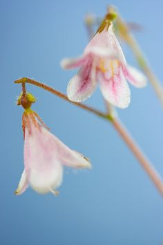 Linnea flower...my favorite from south eastern region of ...