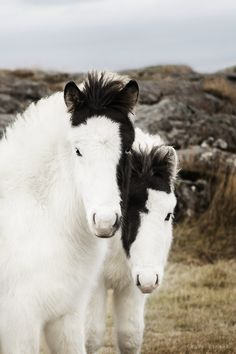 Amazingly cute and fluffy Icelandic foals.