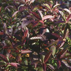 Merlot Sweetspire - this itea boasts stunning fall foliage, compact form