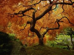 Maple Tree in Autumn Photographic Print at AllPosters.com