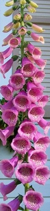 All about foxglove