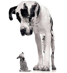 Dane and Chihuahua. I would substitute the chihuahua but I love the great dane Love My Dog, Puppy Love, Little Dogs, Baby Dogs, Dogs And Puppies, Doggies, Funny Puppies, Animal Pictures, Funny Pictures