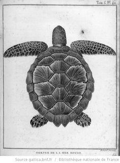 [Tome 5. Pl.42 en reg. p.252 : faune d'Afrique.] Tortue de la Mer Rouge [ou Caret.] [cote : Réserve DT 135 N 8 B 88 v1 à v5]