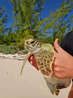Sea Turtle Cape Eleuthera, the Bahamas Baby Sea Turtles, Cute Turtles, Nassau, Cute Baby Animals, Animals And Pets, Beautiful Creatures, Animals Beautiful, Turtle Love, Pet Turtle
