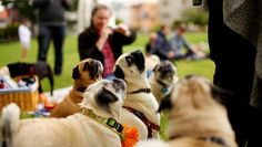 Trixie the Pug: Doggy-Bloggy: Pug Sunday, San Francisco Style! #PUG SUNDAY was a blast today in San Francisco! Thanks to my new friend, Tiffany, for all the amazing photos! Puggy love, Trixie xxx Photographs © 2013 Tiffany Griselda T. #LittleBearProd — in San Francisco.