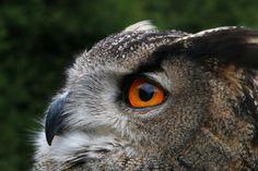 https://flic.kr/p/HL1t1q | Eurasian Eagle Owl #animalcontact #eagle #owl #hibou #duc