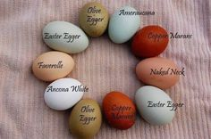 A good visual description of the mix of laying hens I would like in the next cou. A good visual description of the mix of laying hens I would like in the next couple of years. Easter Egger, Olive Egger, Copper Marans, Favorelle, T. Chickens For Sale, Keeping Chickens, Chickens And Roosters, Raising Chickens, Breeds Of Chickens, Maran Chickens, Types Of Chickens, Chicken Egg Colors, Chicken Eggs