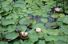 Water Lilies at Monet Lake - Visit the beautiful water lilies floating on Monet Pond at Thanksgiving Point Gardens.