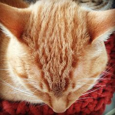 love ginger cats
