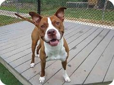 Raleigh, NC - American Staffordshire Terrier Mix. Meet CHESTER, a dog for adoption. http://www.adoptapet.com/pet/11562148-raleigh-north-carolina-american-staffordshire-terrier-mix