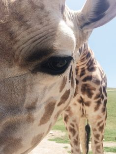 A giraffe's eyes are the size of a golf ball.