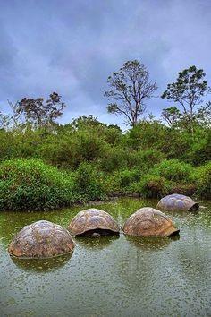 Giant Tortoises in pond while raining in Santa Cruz Island, Galapagos Islands, Ecuador Photo by Sean Crane�