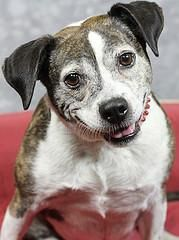 Meet Sarah, a 5 yr 2 mos. old female brindle and white Beagle / Mix available for adoption in LOUISVILLE, KY. She's an adorable girl who would love for you to come play w/ her. Sarah is a happy-go-lucky pup... She looks at you w/ soulful eyes and wants you to stroke her soft head and back. Sarah would love to take short walks w/ you and then curl up beside the couch while you watch your favorite shows. She'll be happy as long as she's by your side.
