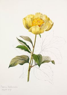 Lilian Snelling -- Paeonia mlokosewitschii -- Peony -- View By Flower -- RHS Prints