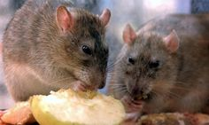Lassa fever is an acute viral illness that occurs in west Africa. The illness was discovered in 1969 when two missionary nurses died in Nigeria. The post Lassa Fever: prevention, symptoms, and treatment appeared first on Oxogena News. Best Rat Poison, Killing Rats, Fun Fact Friday, Cute Rats, Cats Bus, Pest Management, Cat Drinking, Rodents, Pest Control