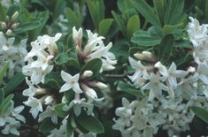 View Plant | Great Plant PickDaphne × transatlantica 'Jim's Pride' HYBRID DAPHNE.  Long blooming, very fragrant Zones 5-9