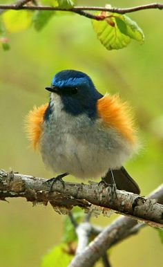 Orange flanked bush robin -Google+