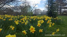 Daffodils at The Royal Botanic Gardens, Kew, pictured on the 31st March 2016.