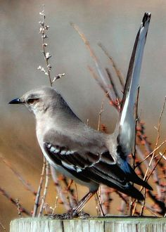 mocking bird - even though it's our state bird and they sing pretty, these are my least favorite because they are so mean!