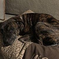 Garden Grove, California - American Bulldog. Meet Sabbath, a for adoption. https://www.adoptapet.com/pet/19832349-garden-grove-california-american-bulldog-mix