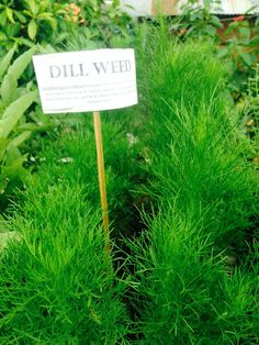 Dill Weed Dill Weed, Garden Tools, Spices, Herbs, Spice, Yard Tools, Herb, Medicinal Plants